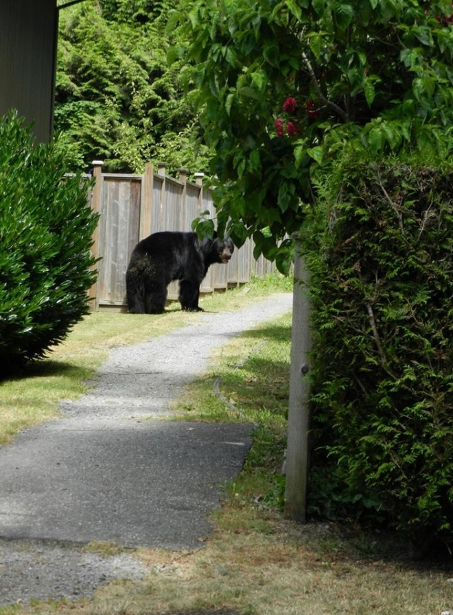 As this big black bear ambled away down this suburban path at Lynn Valley, North Vancouver, he turned to look at us, then continued on his way. Photo ©Gordon Dann